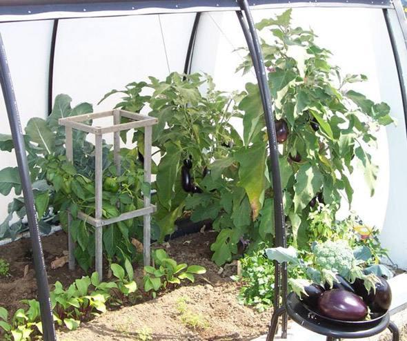 Выращивание баклажанов в теплице из поликарбоната в подмосковье 47