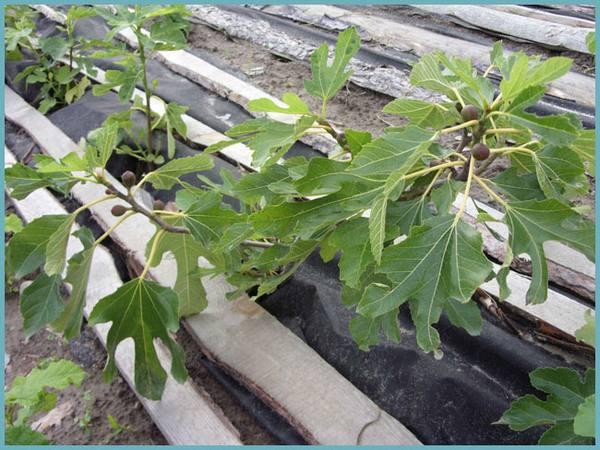 Выращивание инжира в открытом грунте в украине 34