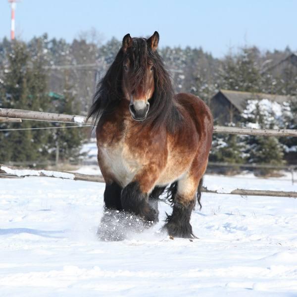 Рабочие лошади тяжеловозы с фото