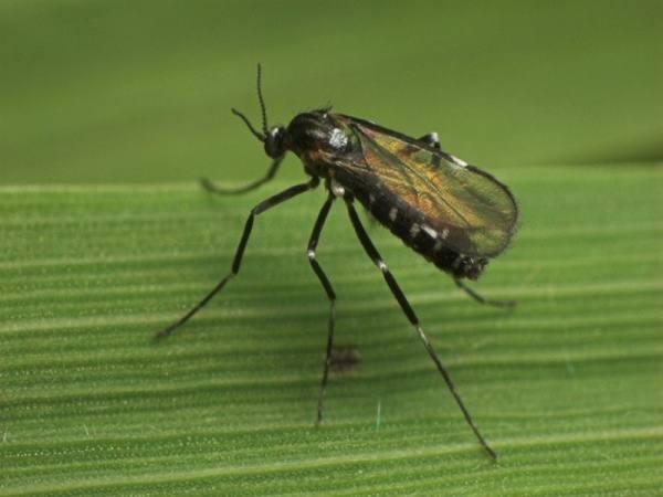 Почему на ежевике много мух и что с ними делать?