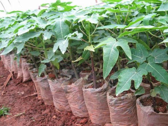 Как вырастить папайю из семян в домашних условиях 272