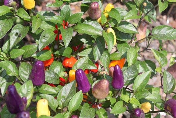 Перец чили выращивание в грунте 550